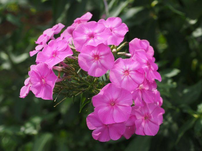 Perennials pink flowers